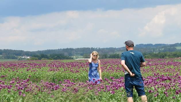 Fialová nádhera. Rostliny kvetoucího máku přitahují fotografy. Barevné lány lze obdivovat i na Táborsku.