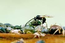 S hmyzem napadajícím zemědělské plodiny umí zatočit vosička rodu Lysiphlebus. Na snímku klade vajíčka do mšic Aphis fabae.