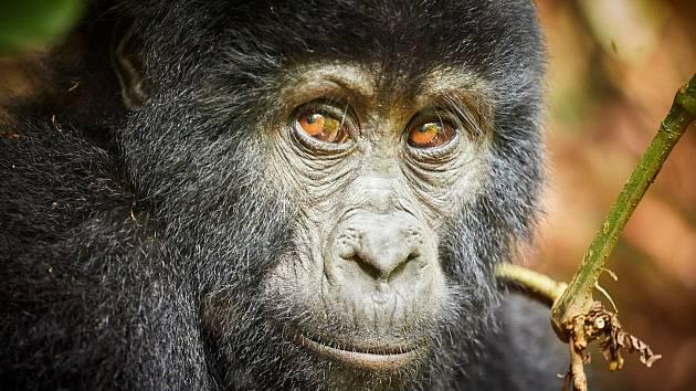 Gorily žijí v pralesech ve Rwandě. Dozvíte se o nich na cestopisné přednášce ženy, která tam jela navštívit bratra.
