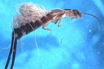 Neobvyklý kurz biologického boje proti škůdcům nabízejí vědci z českobudějovického centra Akademie věd ČR. Na snímku škvor napadený strunicemi.