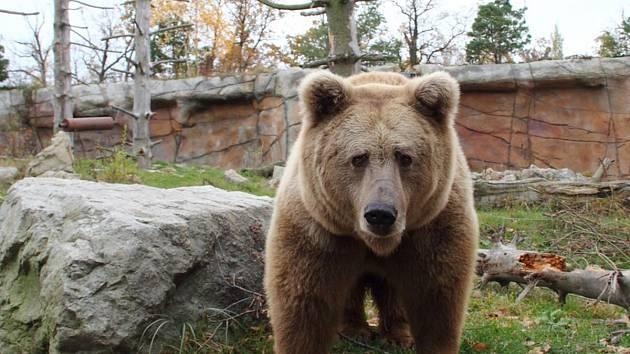 Samec medvěda plavého už je zpátky ve výběhu.