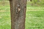 Duch stromový 34 - pětioký