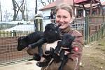 Mladá zvířata v zoo ohrada v Hluboké nad Vltavou. Narodilo se pět malých lemurů, jeden kočkodan husarský a tři ovečky ouessantské.