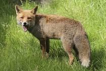 Liška obecná. Ilustrační foto.
