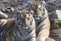 Tygřata v ZOO Ohrada v Hluboké nad Vltavou ve výběhu pěkně řádí.