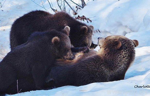 Medvědí rodinka zBavorského lesa.