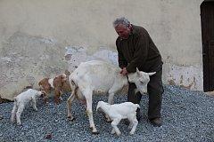 Starost, ale i mnoho radosti přináší chovateli Janu Pincovi z Hrutova čtveřice kůzlat. Pojmenoval je Hnědásek, Pruháček, Bělásek a Ouško.