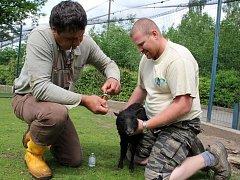 Veterinář Emanuel Krejcar a ošetřovatel Martin Drha se snaží zachránit ovci ouessantskou.