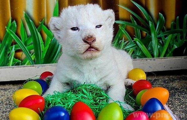 Rarita - bílý lev.