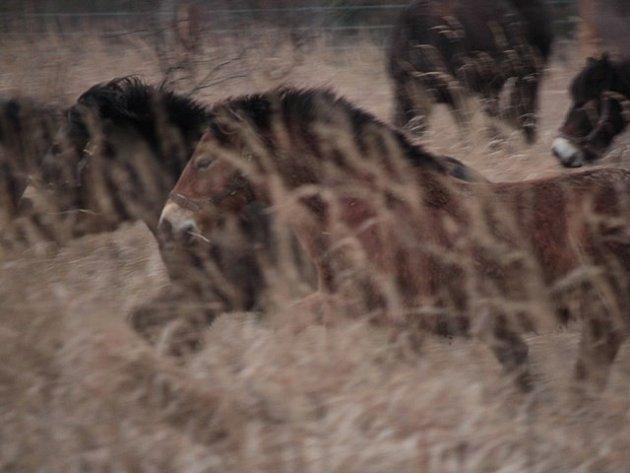 Divocí koně si zvykají na české pastviny.