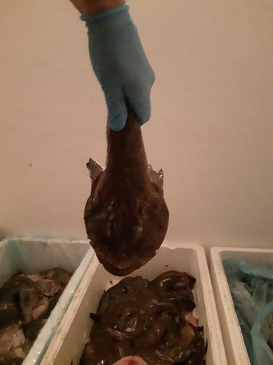 V nevyhovujících podmínkách byly přepravovány ryby a mořští živočichové. Na jihu Čech zásilku objevili celníci a inspektoři Státní veterinární správy nařídili její likvidaci v kafilerii.