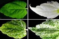 Jihočeští vědci z Biologického centra Akademie věd ČR se věnují i genetickému zkoumání rostlin.