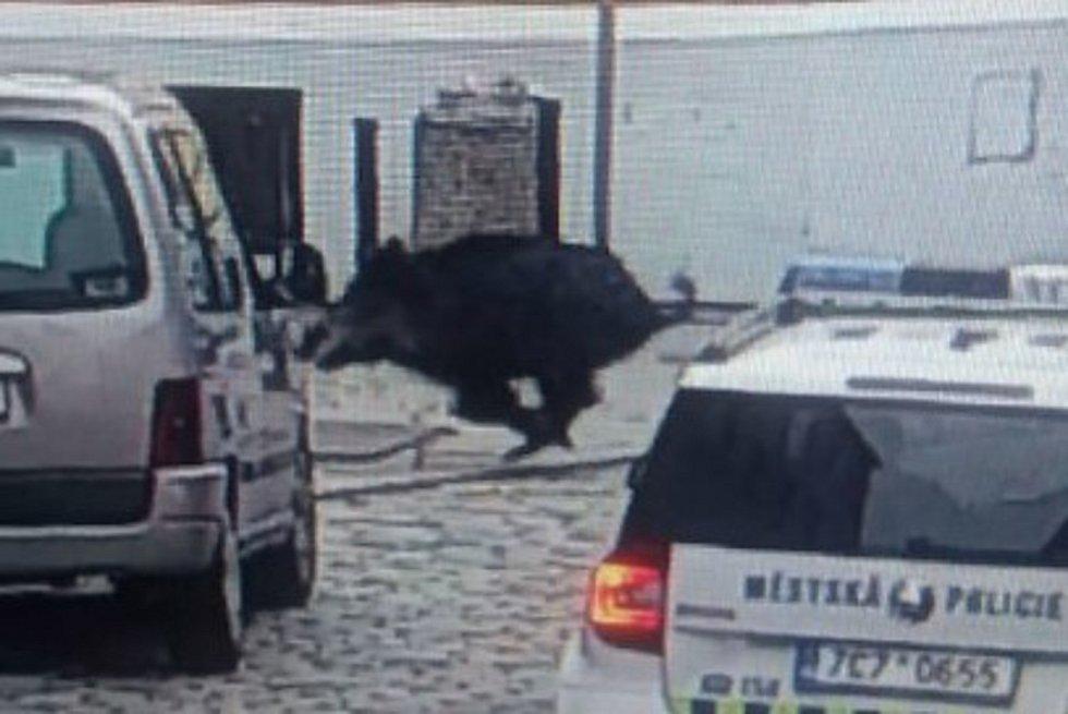 Strážníci městské policie prase z města vyhnali směrem k Roudnému.