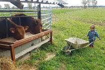 Kubíka vedeme k práci odmala. Můj muž začíná s hospodařením, máme 10 krav, dva býky plemene Aberdeen Angus a letos se nám narodilo pět telátek.