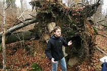 Žofínský prales v Novohradských horách je nejstarší ve střední Evropě. Po orkánu Kyril ale pětina stromů popadala a teď v něm řádí kůrovec. Na snímku botanik Petr Lepší u jednoho z vývratů.