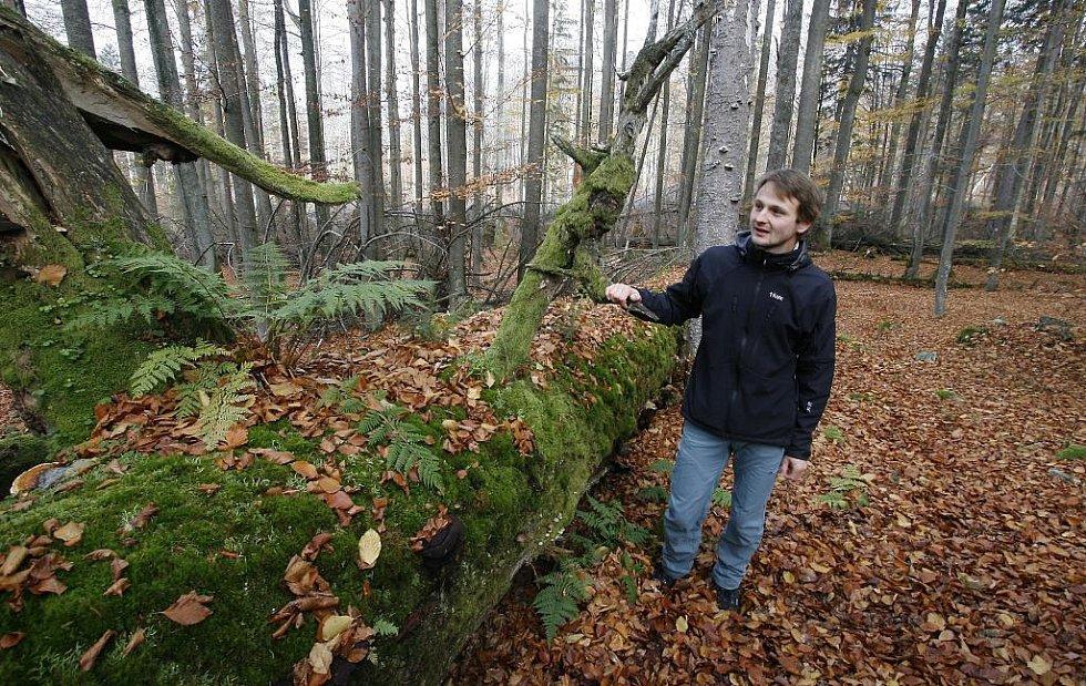 Žofínský prales v Novohradských horách je nejstarší ve střední Evropě. Po orkánu Kyril ale pětina stromů popadala a teď v něm řádí kůrovec. Na snímku botanik Petr Lepší u svícnové jedle staré 420 let.