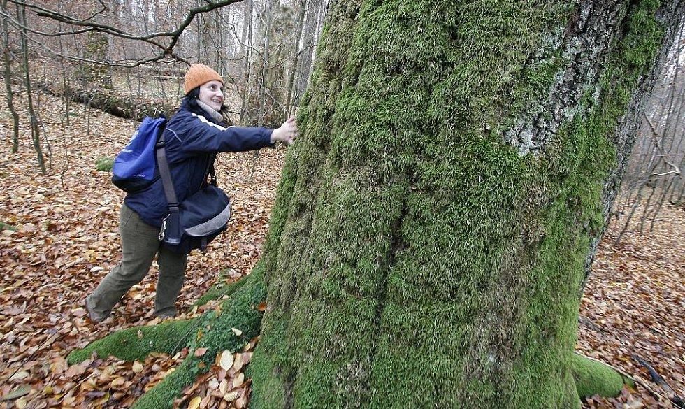 Žofínský prales v Novohradských horách je nejstarší ve střední Evropě. Po orkánu Kyril ale pětina stromů popadala a teď v něm řádí kůrovec.