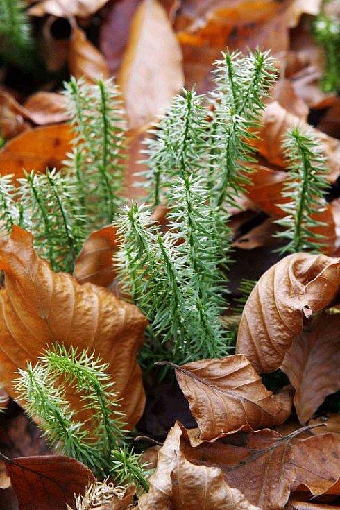 Žofínský prales v Novohradských horách je nejstarší ve střední Evropě. Po orkánu Kyril ale pětina stromů popadala a teď v něm řádí kůrovec. Na snímku malé jedle.