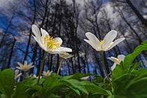 Lukáš Gallo vyfotil sasanky v lese u Česnovic.