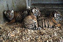Tygřata ze zoo Ohrada na Hluboké nad Vltavou