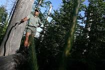V Trojmezenském pralese v bezzásahové I.zóně Národního parku Šumava je patrné jak si příroda sama dokázaže poradit s lýkožroutem smrkovým. Odumřelé stromy postupně padají a tlejí. Vytváří tak živiny pro další les. Roční nárůst nových stromů je kolem jedno