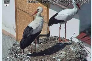Několik čápů si hnízdo v Dubném na jaře 2021 obhlédlo, jako třeba tento pár 26. dubna, zatím ale zůstává prázdné.