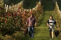 """Za jednu z nejhorších sklizní za poslední roky označují někteří sadaři letošní úrodu. """"Postihlo to především pěstitele v nižších polohách. My si nestěžujeme. Úroda je sice slabší, ale vzrostla cena,"""" hodnotí sklizeň Jiří Hamlík (na snímku vlevo)."""