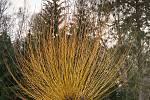Duch stromový 5 - vlasatice