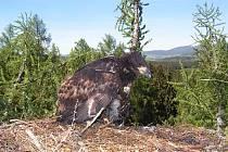 Mládě orla mořského prožívá dětství na Šumavě.