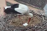 Nově vytvořený čapí pár se již stará o vajíčka.
