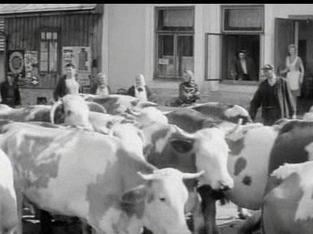 Místní lidé ve scéně nahánění krav.