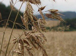 V České republice je kriticky ohrožený sveřep stoklasa ( na obrázku), rostoucí jako plevel obilných polí.