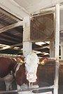 Dvaadvacet velkých ventilátorů ve dvou velkokapacitních kravínech používají v kravínech ZOD Borovany
