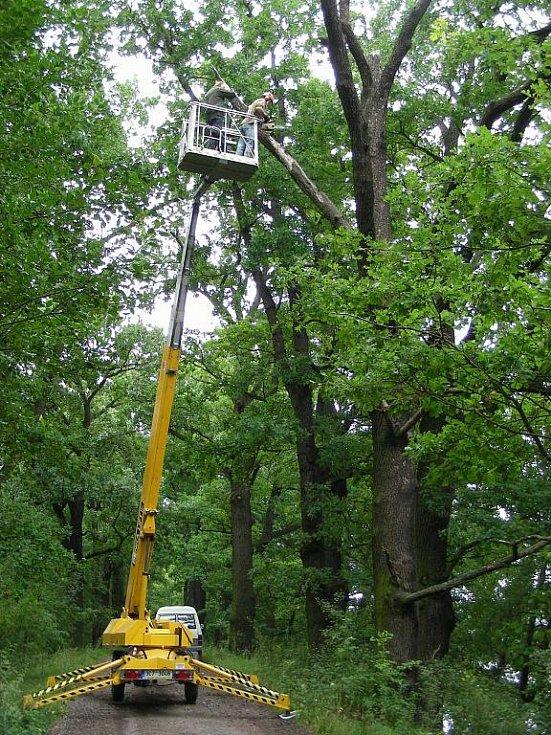 Staré stromy jsou domovem ohroženého páchníka hnědého. Desítky dubů pro hmyz zachránilo sdružení Calla.