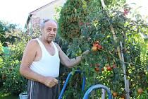 Papriky i rajčata Milan Syrovátka rád pěstuje v nádobách. Tak je méně ohrožují všežraví slimáci a úroda je bohatá.