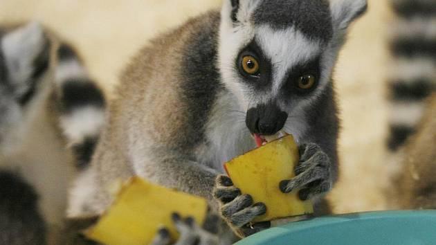 Lemury Kata a Damany dnes vypustili do nových výběhu pracovníci zoologické zahrady Ohrada v Hluboké nad Vltavou.