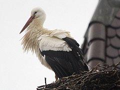 Čáp bílý už přilétl na hnízdo v Dubném.