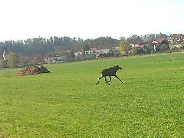 U Boršova nad Vltavou byl spatřen los.
