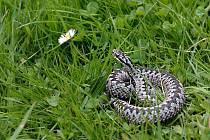Vyhřívající se zmije. Ilustrační foto.