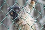 Lemur hnědý ze zoo Dvorec u Borovan.