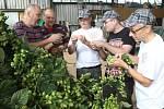 Na chmelnici v Blšanech u Žatce v pátek ráno sklidili 800 kilogramů čerstvého chmele pro Budějovický Budvar. Za pár hodin se z něj začalo vařit speciální prémiové pivo.