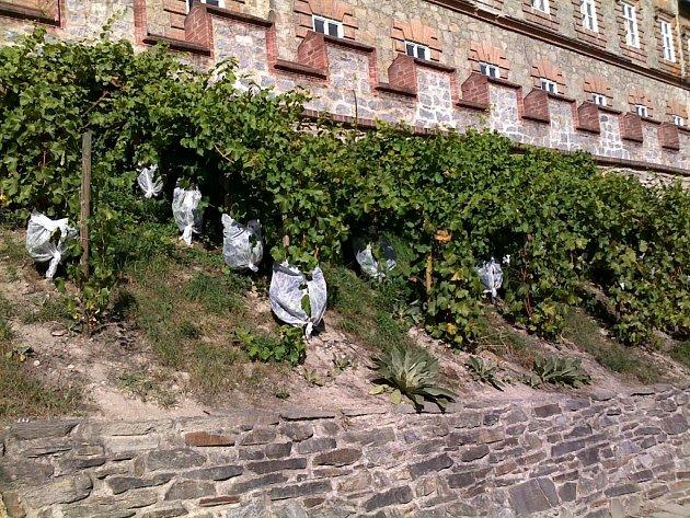 Na zámecké vinici dozrávají letošní hrozny.