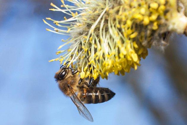 včela žihadlo
