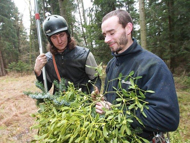 Tomáš Havel sbírá jmelí v lesích na Budějovicku.