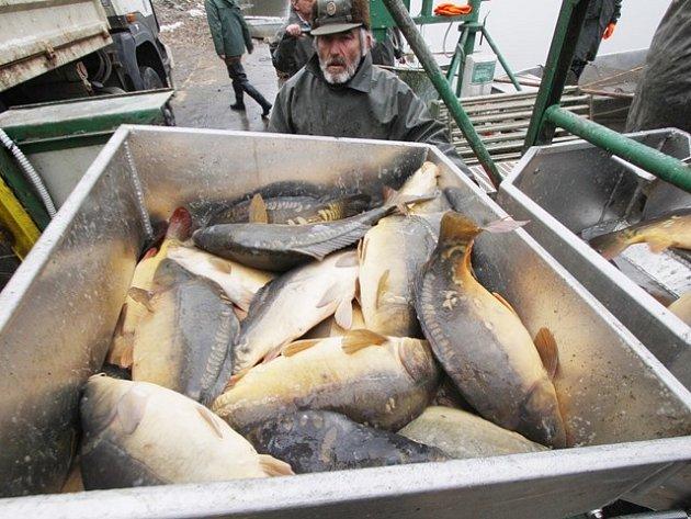 Jarní odlovy jsou zdrojem ryb pro velikonoční prodej. Na snímku je zachycena akce třeboňských rybářů na Koclířově, vodní ploše u Lomnice nad Lužnicí.