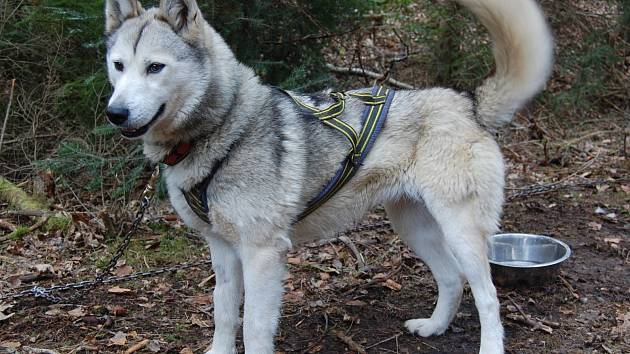 Sibiřský husky se stal obětí traviče v J. Hradci.