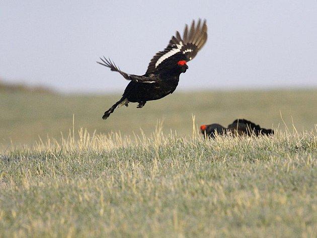 Nejpůsovivější ornitologická podívaná, tok tetřívka obecného, je v centrálních částech Šumavy v nejvyšších obrátkách. Příroda tak oznamuje příchod jara v plné síle. Samci tetřívků zahajují klání o partnerku časně ráno a vlastní tok začíná v úplné tmě.