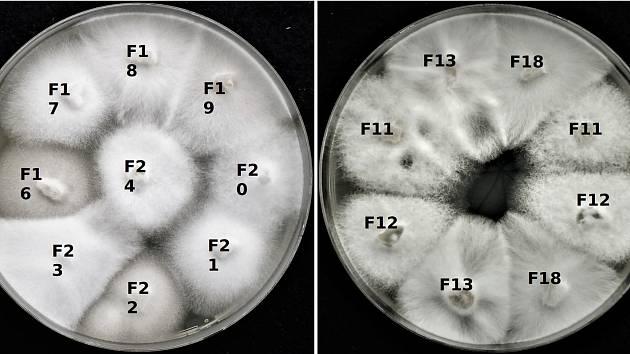 """""""Kultury houby Sodiomyces alkalinus pěstované v laboratoři. Na první pohled není možné říci, které v sobě mají viry – po testování víme, že jsou to kultury F11, F12, F13 a F18."""""""