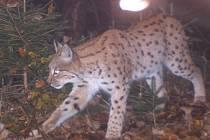 Fotopasti umožňují ochráncům přírody sledování plachých šelem, například rysa Luďka (na snímku).