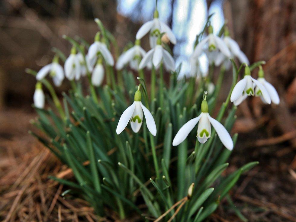 Příroda se probouzí. Čtvrteční slunečný den v okolí Doudlebska na Českobudějovicku. Kvetou sněženky a objevily se i sedmikrásky.